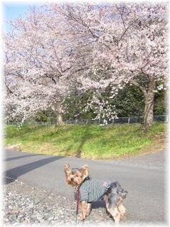 モモと桜並木