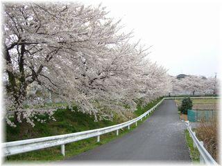 散り始めた桜並木