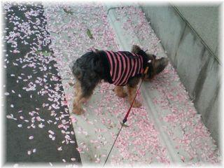 ピンクの花びらキレイ♪