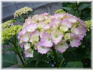 紫陽花のピンク