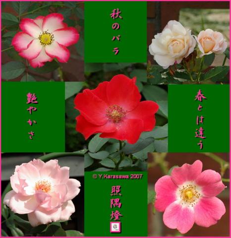 1113秋のバラ