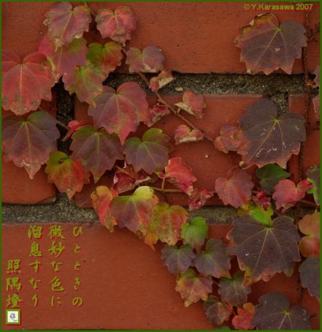 1129蔦の紅葉
