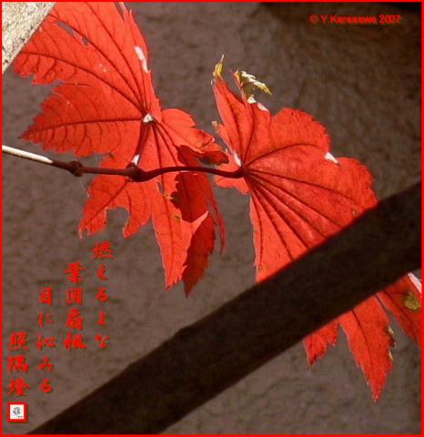 1206葉団扇楓