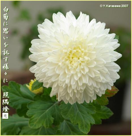1209白菊