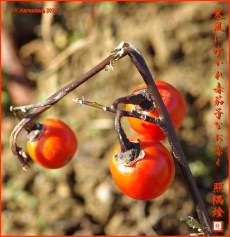 1212赤茄子