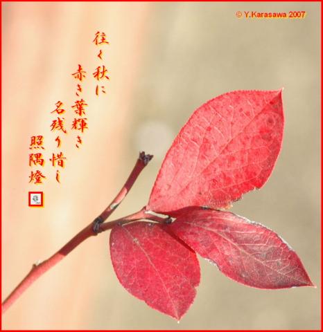 1217ブルーベリー紅葉