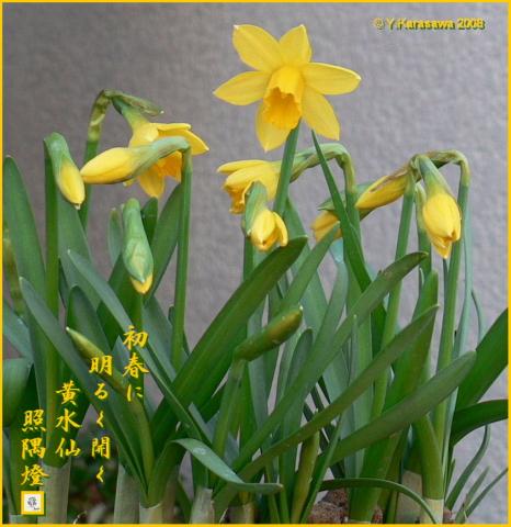 0104黄水仙