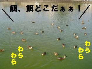 集まったよ、池のカモ全部!!