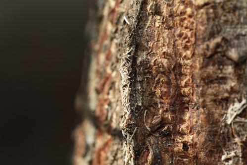 コムラサキ越冬幼虫