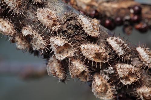 アカホシテントウ蛹殻