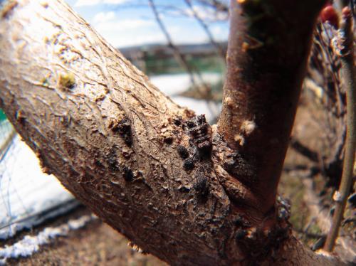 オオミスジ幼虫