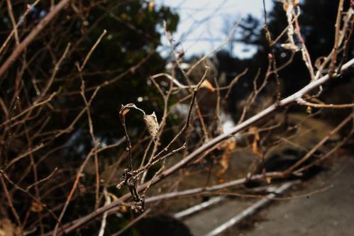 ホシミスジ越冬幼虫巣