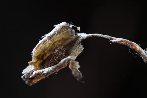 ホシミスジ越冬幼虫