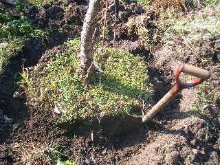 花桃の根周りを掘る