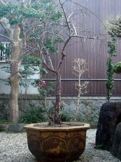 鉢植えになった花桃