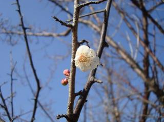 南洲神社の梅の花 2008.1.5