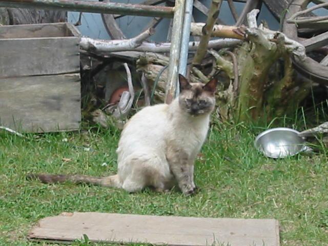 シャム野良猫?