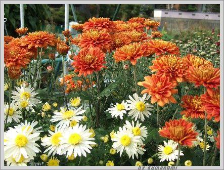 2007菊の花