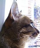 おっとり猫のアイシス。名前の由来は、漫画「王家の紋章」に登場する女王アイシスより。