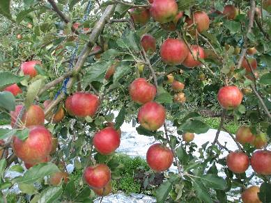 たわわな林檎達