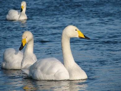 白鳥11295