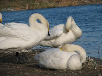 白鳥11294