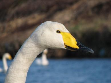 白鳥11296