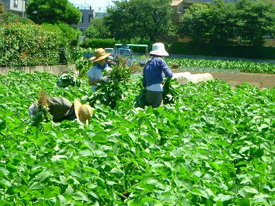 吉田農園 大豆畑070814