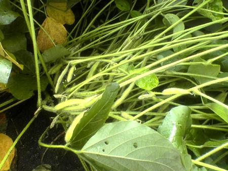 大豆レボ・吉田農園 20070910_002