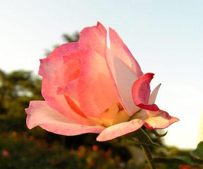 ピンクのバラ~