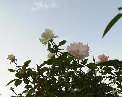 バラが咲いた~♪