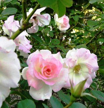 ピンクのバラ集合