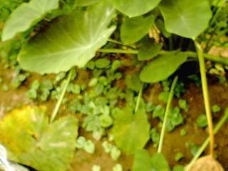 むかごの芽