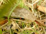 シマヘビ横顔