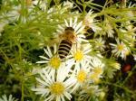 孔雀草とアシブトムカシハナバチ