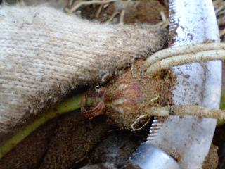 サトイモ根を切る