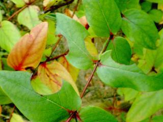 ヒペリカム○切り葉