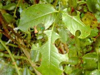 ツルバラ○切り葉
