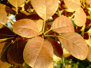 スモークツリー葉