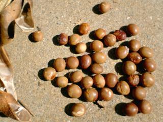 一株分の大豆
