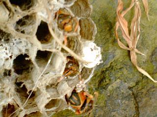 アシナガバチの巣アップ