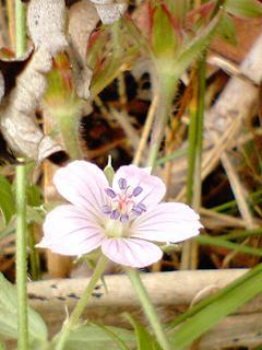 ミコシグサの花