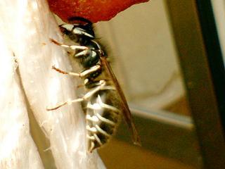 クロスズメバチ横