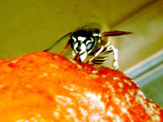 クロスズメバチ顔