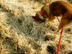 ネズミ捕りする犬