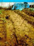準備万端の長芋畑