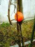 源平桜と柿