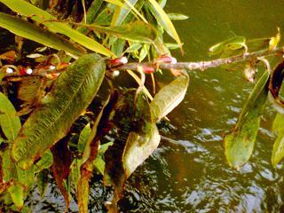 ネコヤナギの芽