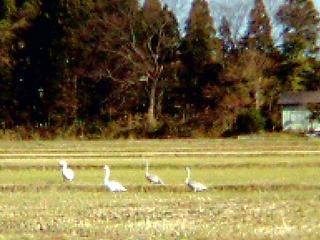 白鳥 4羽