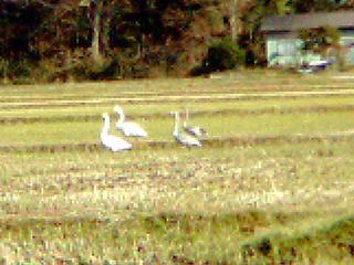 白鳥 4羽その2